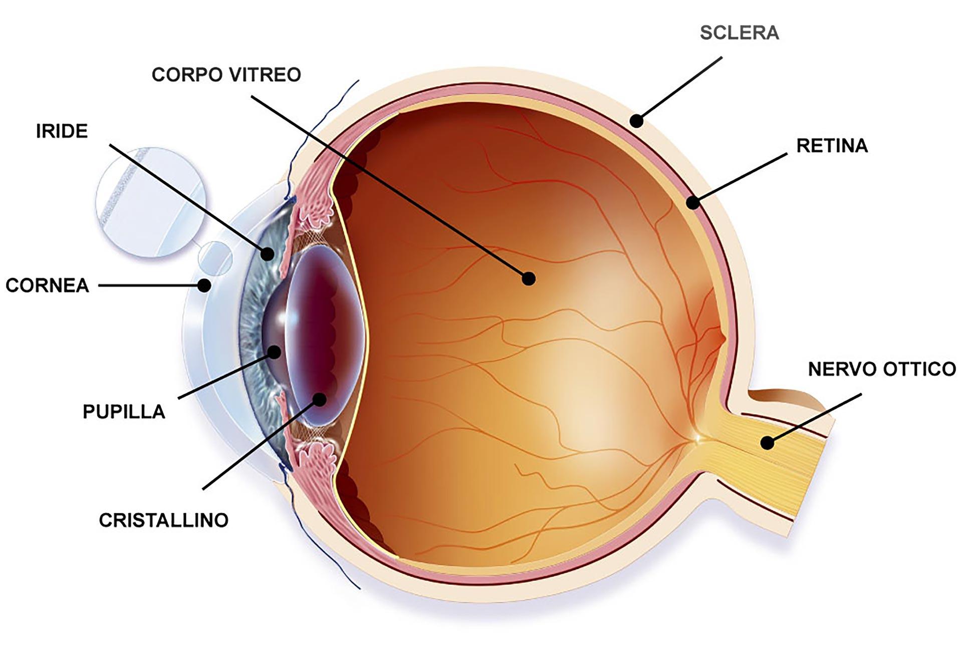 Anatomia dell'occhio – La cornea