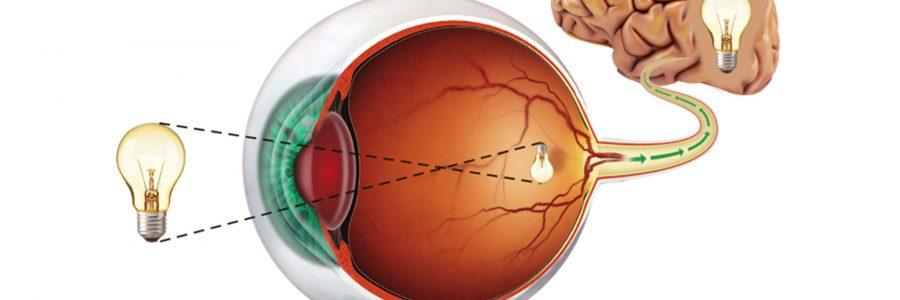 Anatomia dell'occhio – La retina